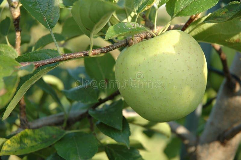 Golden Delicious Apple Auf Baum Lizenzfreie Stockbilder