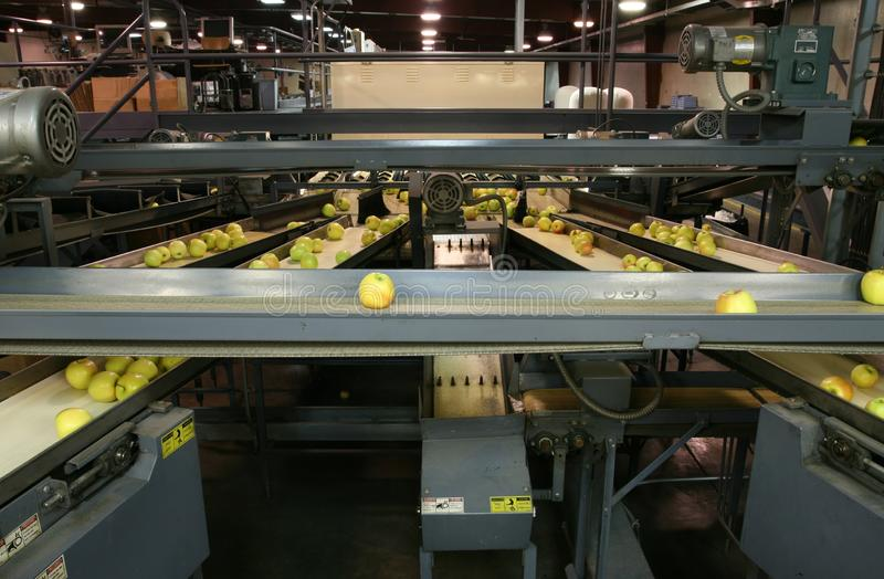 Golden Delicious Apples on conveyor belts in a packing warehouse royalty free stock photos