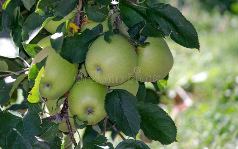 Golden delicious Michigan apples stock image