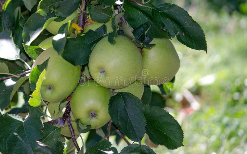 Golden deliciousmichigan-Äpfel stockbild