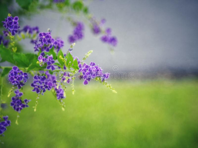 Golden Dewdrop, Crepping Sky Flower, Pigeon Berry. By Thai people called candle drops. It is a purple flower. royalty free stock image