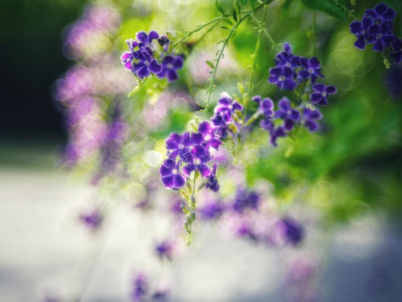 Golden Dewdrop, Crepping Sky Flower, Pigeon Berry. By Thai people called candle drops. It is a purple flower. stock image