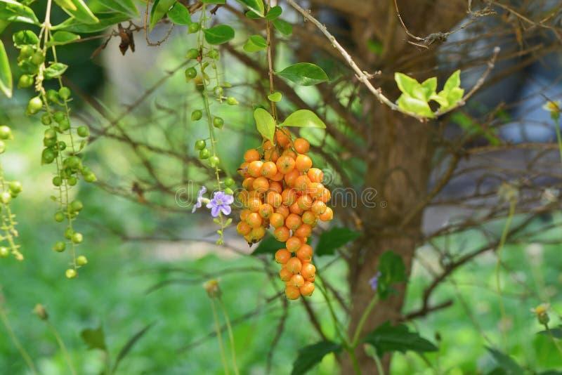 Golden Dewdrop stock image