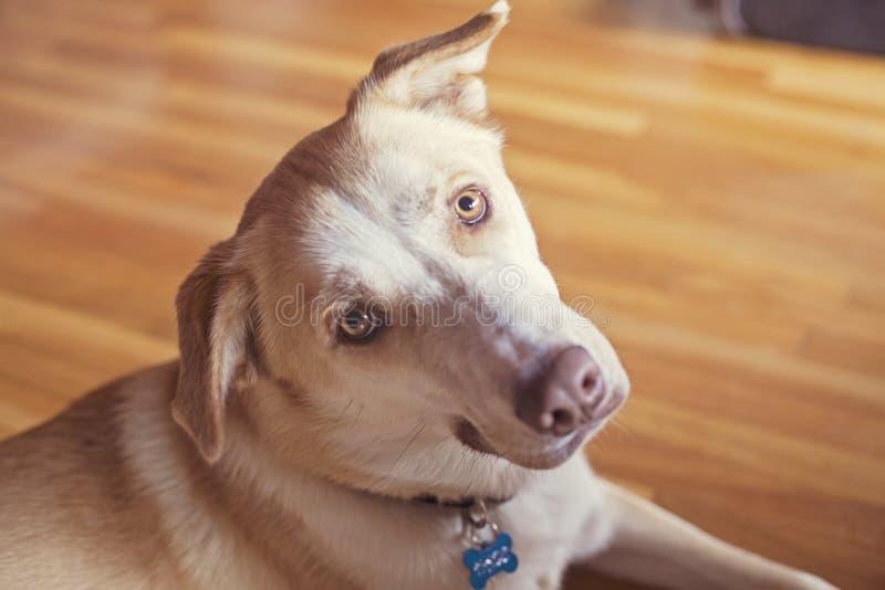 Golden dog face stock photography