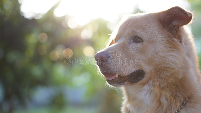 Golden dog. With the space background for descriptions royalty free stock photo