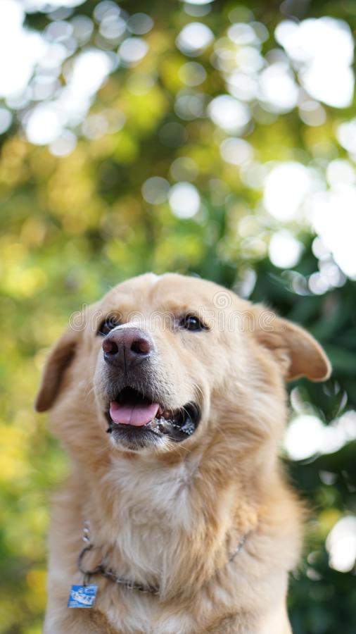 Golden dog. With the space background for descriptions royalty free stock image