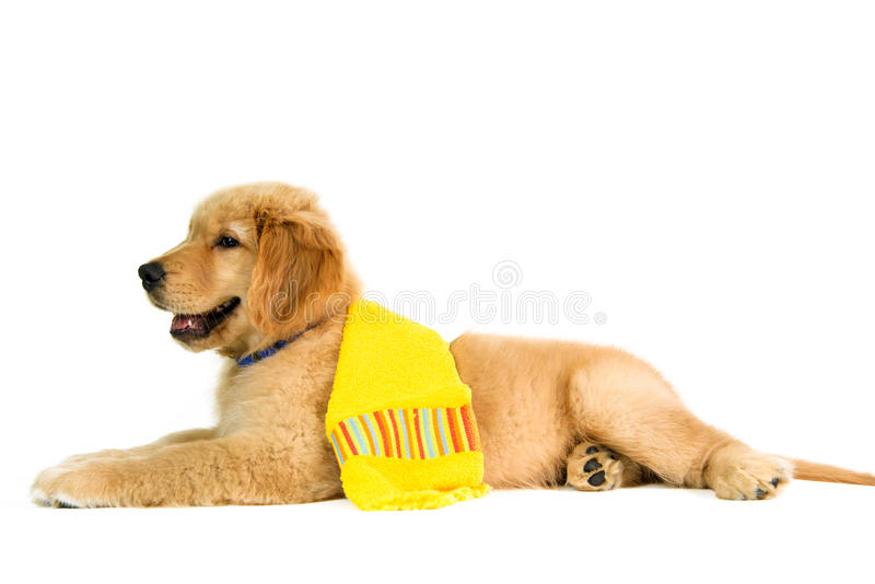 Golden dog lying down with a yellow towel on the back royalty free stock photo