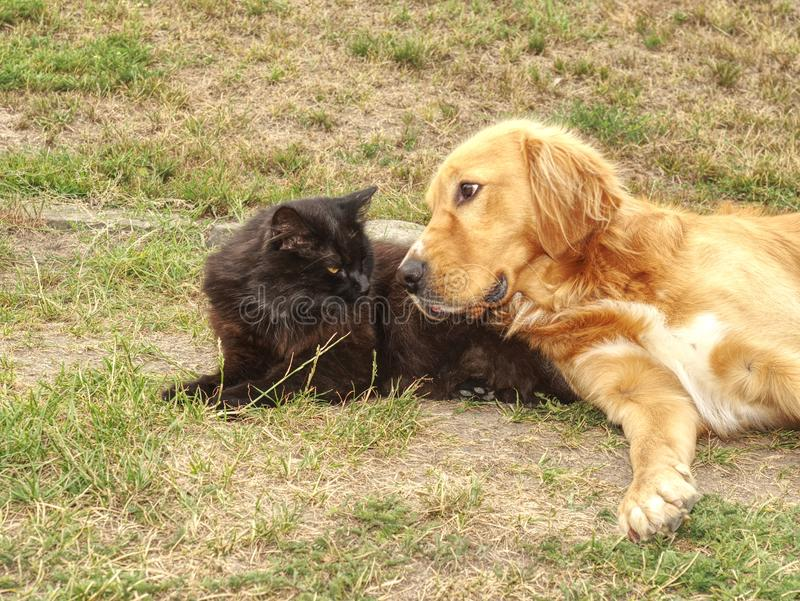Golden dog play with black cat in the green grass. Friends play. And caress stock photo