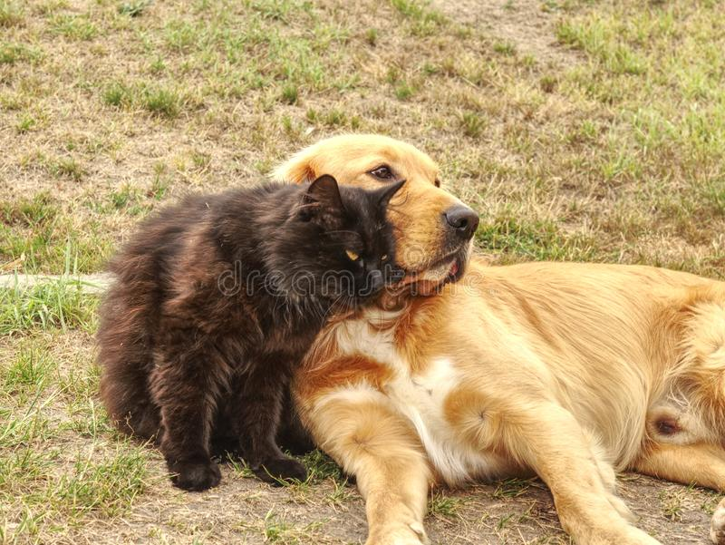 Golden dog play with black cat in the green grass. Friends play. And caress royalty free stock photo