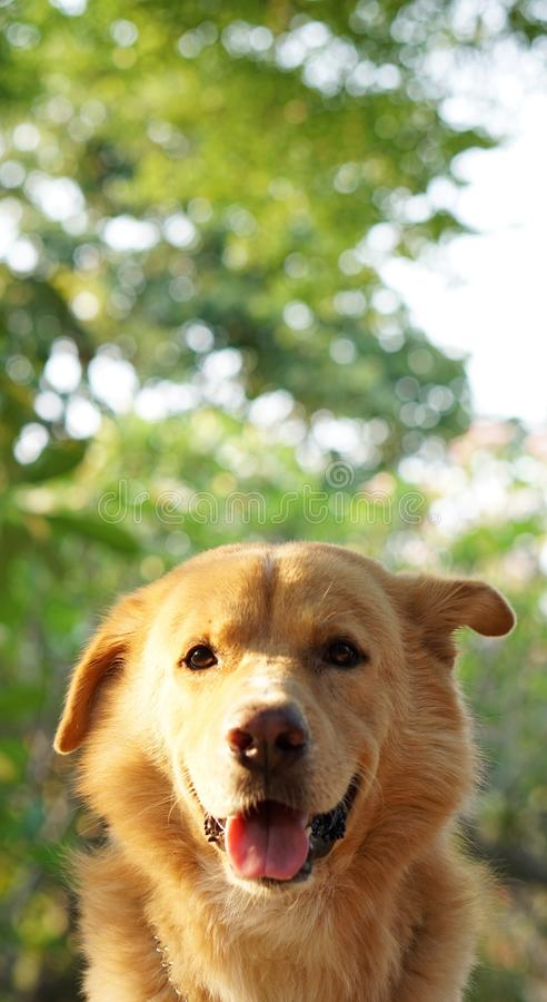 Golden dog. With the space background for descriptions stock image