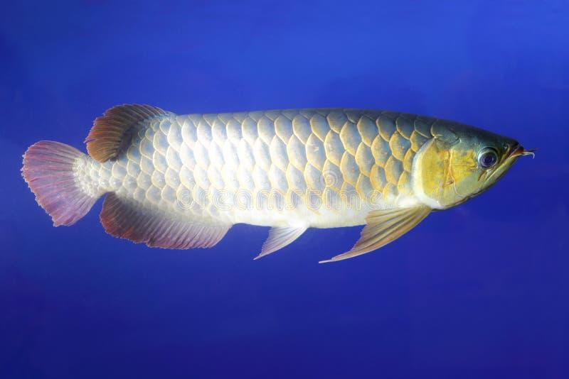 Golden dragon fish royalty free stock image