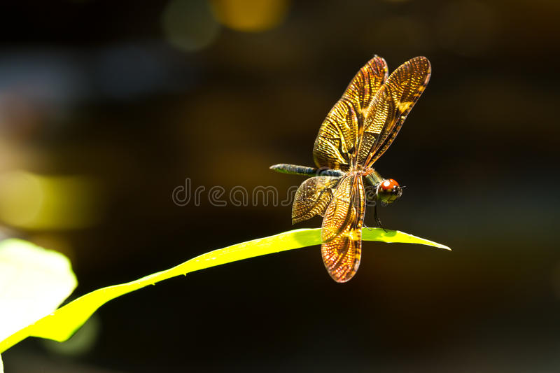 Golden dragonfly stock image