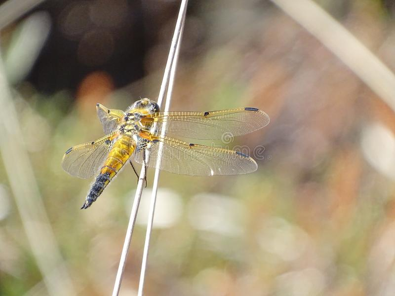 Golden dragonfly in closeup royalty free stock image