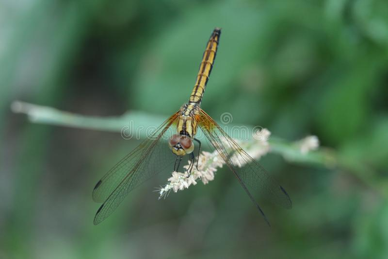 Golden dragonfly in Hong Kong rural area royalty free stock photos
