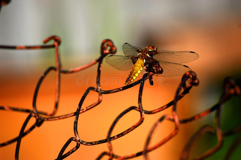 Golden dragonfly on the iron grid stock images