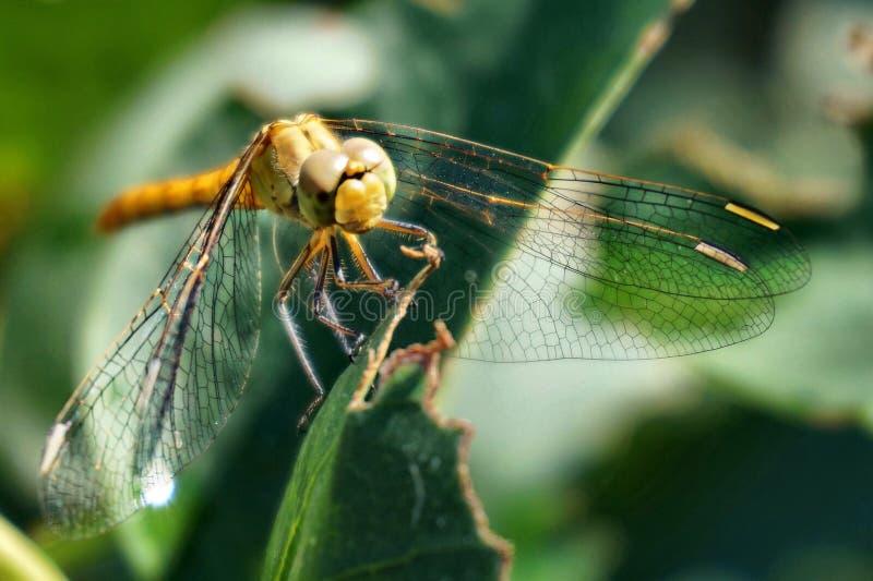 Golden dragonfly royalty free stock photos
