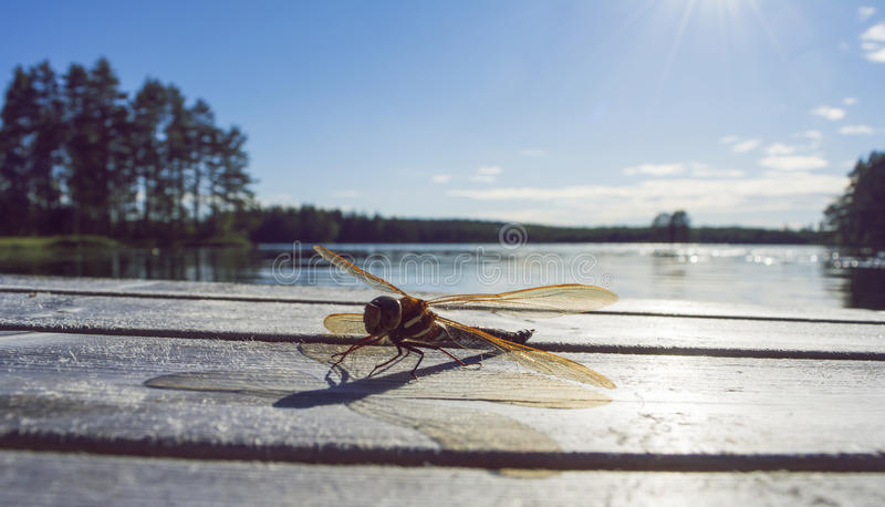 Golden dragonfly sitting on a jetty, lake in background. A huge golden dragonfly sitting on a jetty, with a sunlit lake in background royalty free stock images