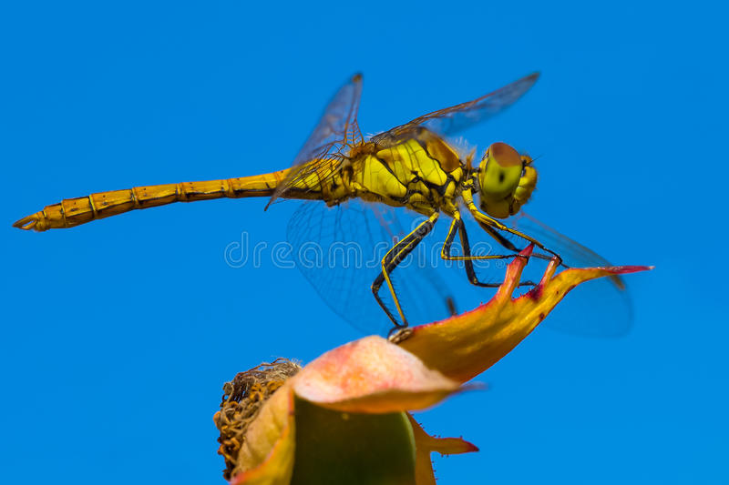 Golden dragonfly royalty free stock photography