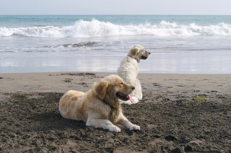 Golden dream dogs. Beautiful golden retreiver dogs in the beach stock images
