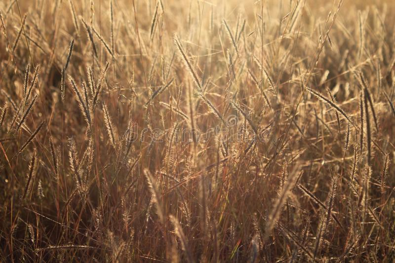 Golden dry grass field with sun back-light royalty free stock images