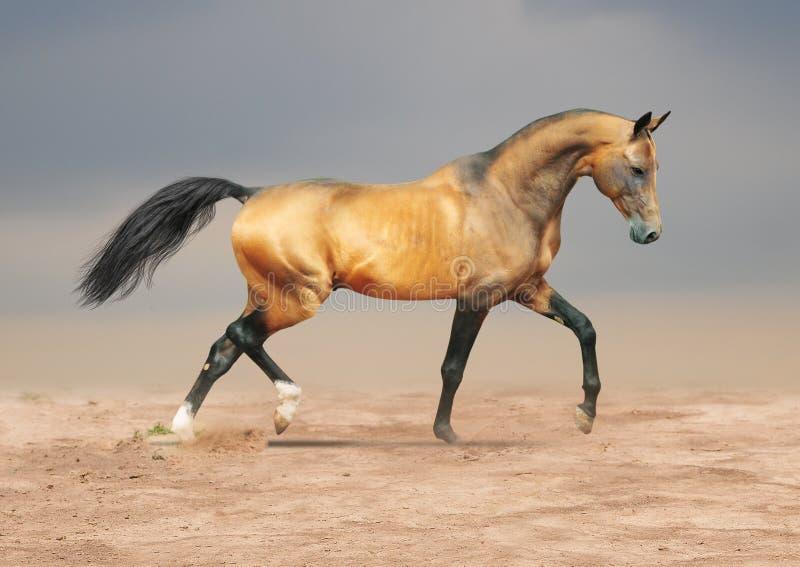 Golden dun akhal-teke horse stock photo