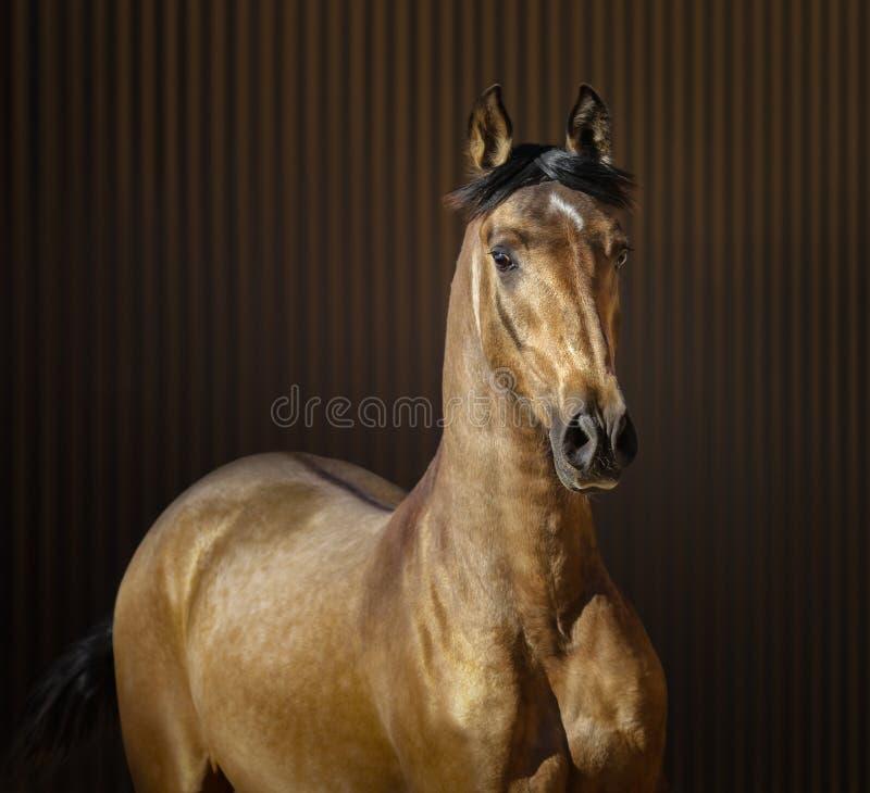Golden dun young Spanish horse royalty free stock photo