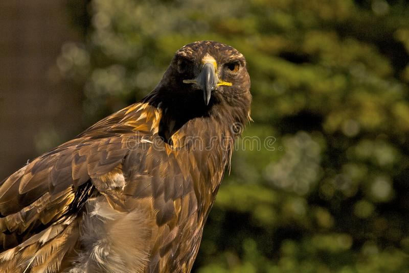 Download Golden Eagle stock photo. Image of majestic, stare, prey - 12249908