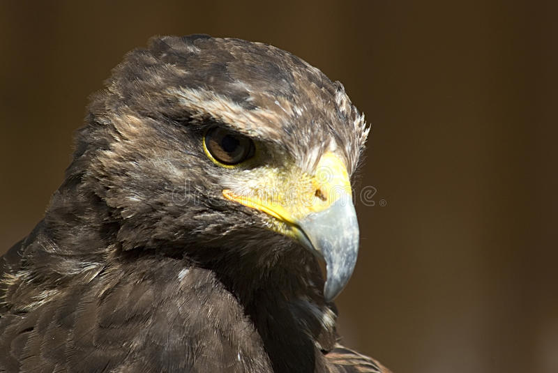 Download Golden eagle stock image. Image of strength, nature, power - 13078201
