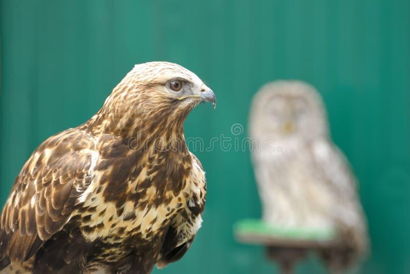 Download Golden eagle stock image. Image of calm, carnivore, nobody - 14540945