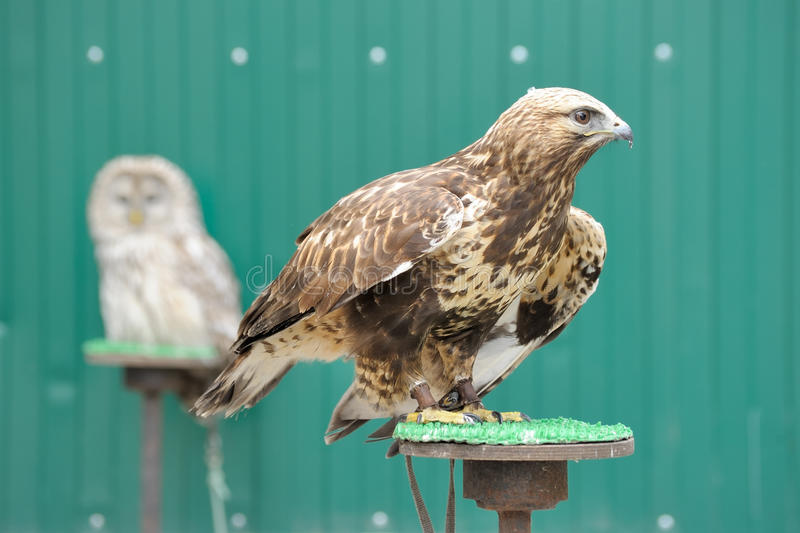 Download Golden eagle stock photo. Image of chrysaetos, hand, nature - 14622338