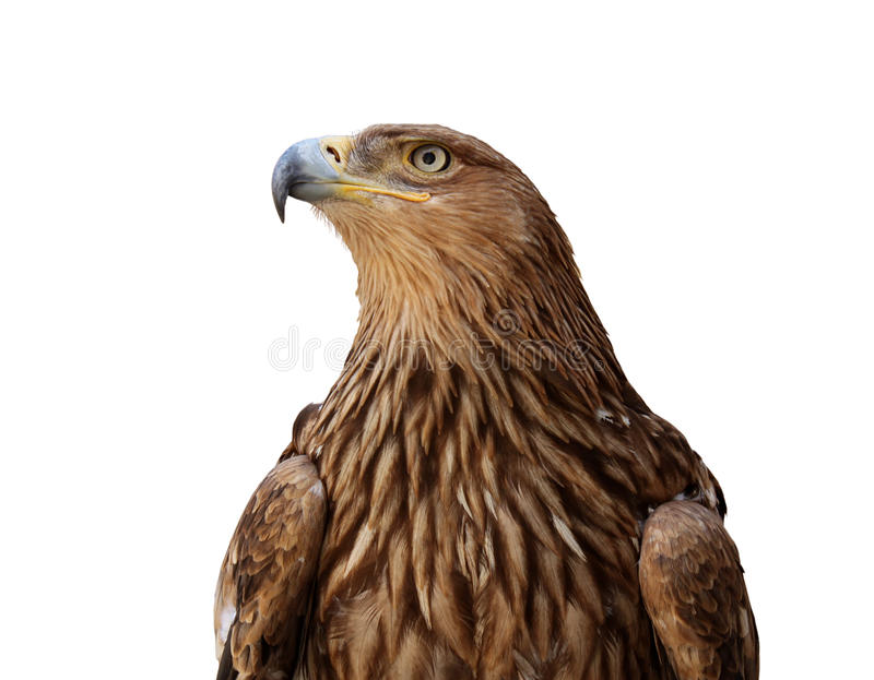Download Golden eagle stock photo. Image of white, background - 16379302