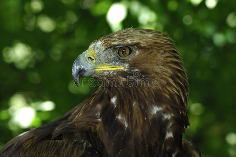Download Golden Eagle stock photo. Image of beak, raptors, gazing - 16712482