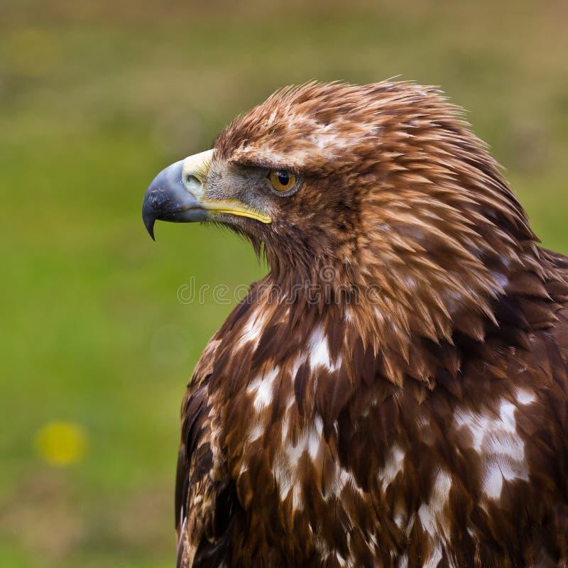 Golden eagle. Aquila chrysaetos portrait. Background blurred royalty free stock images