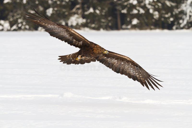 Golden Eagle. Flying golden eagle over the field stock image
