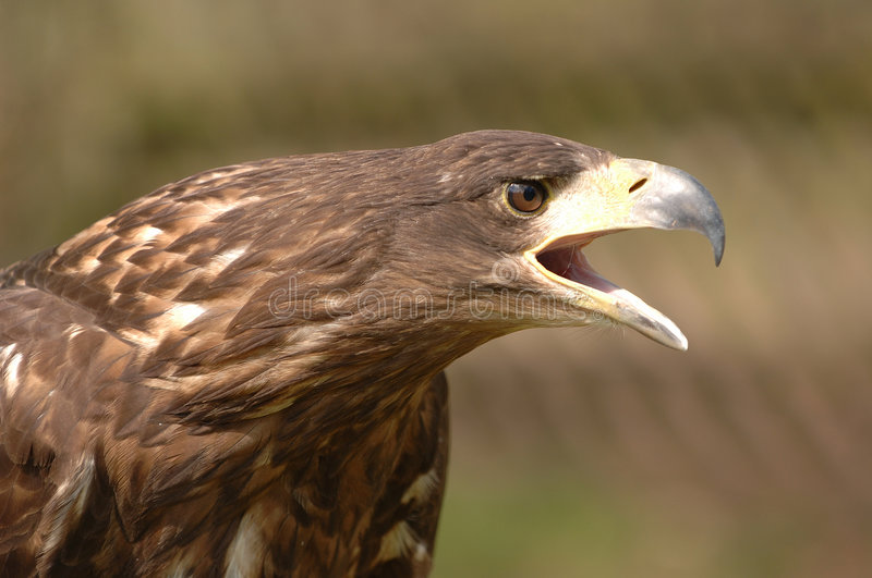 Golden Eagle. Portrait of the Golden Eagle, a bird of prey, in profile, with it's beak in an open position. Isolated by shallow depth of field stock images