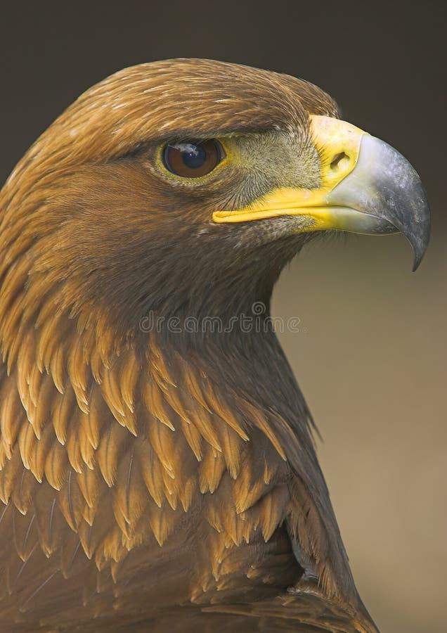 Free Golden Eagle Stock Photos - 2427153