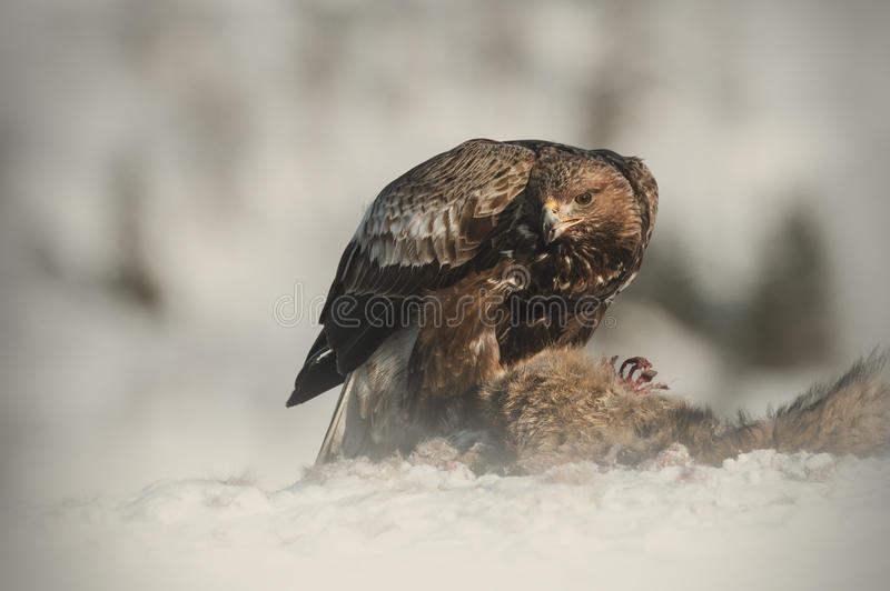 Download Golden Eagle stock image. Image of carnivore, daylight - 25137817