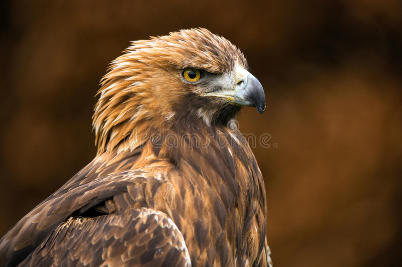 Golden Eagle. Against a background of blurred dark brown leaves stock image