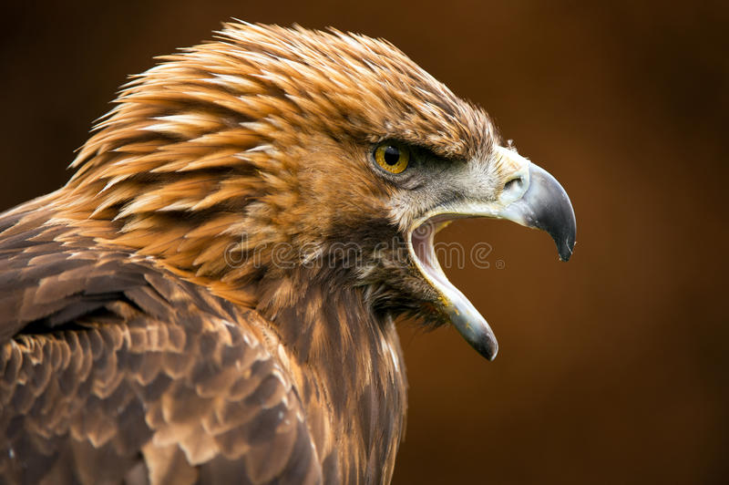 Golden Eagle. Against a background of blurred dark brown leaves royalty free stock photo