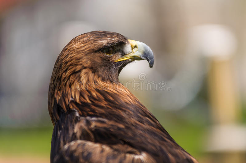 Golden Eagle angle profile view stock photography