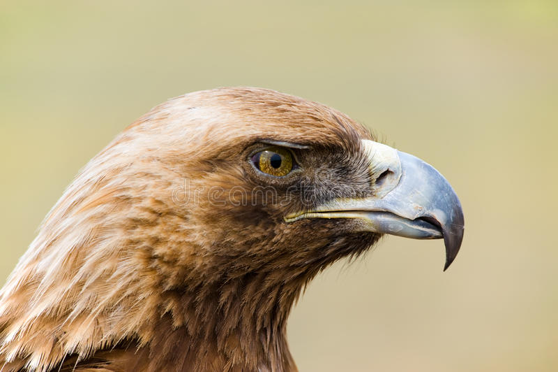 Golden Eagle. Aquila chrysaetos. stock image