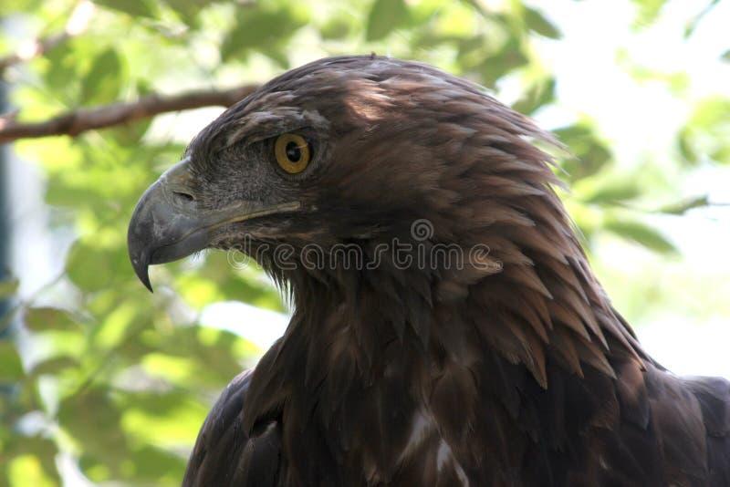 Golden eagle ( aquila chrysaetos ) royalty free stock images