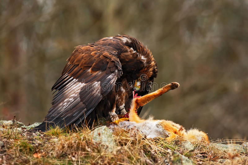 Golden Eagle, Aquila chrysaetos, bird of prey with kill red fox on stone, photo with blurred orange autumn forest in the backgroun. Sweden stock photo