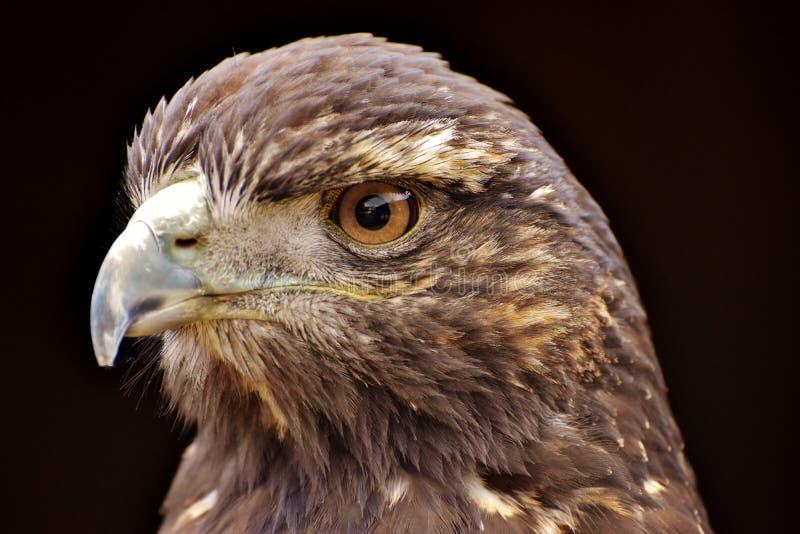 Golden Eagle. A Golden Eagle Aquila chrysaetos, a bird of prey from North America royalty free stock photo