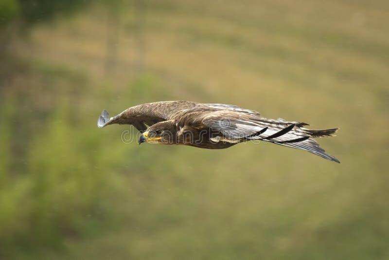 Golden eagle, Aquila chrysaetos, flying royalty free stock photo