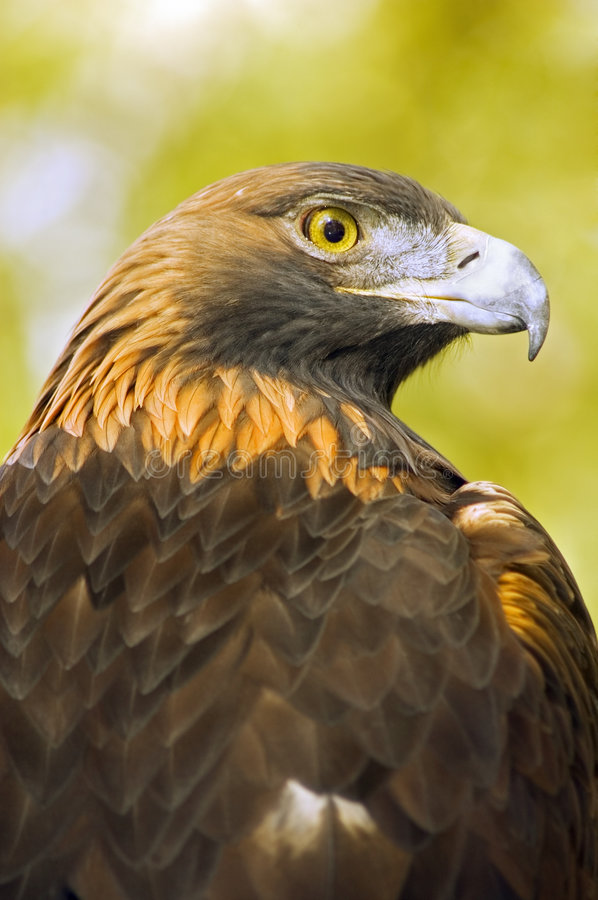 Download Golden Eagle (Aquila Chrysaetos) Profile Over Green-Gold Background Royalty Free Stock Images - Image: 1678999
