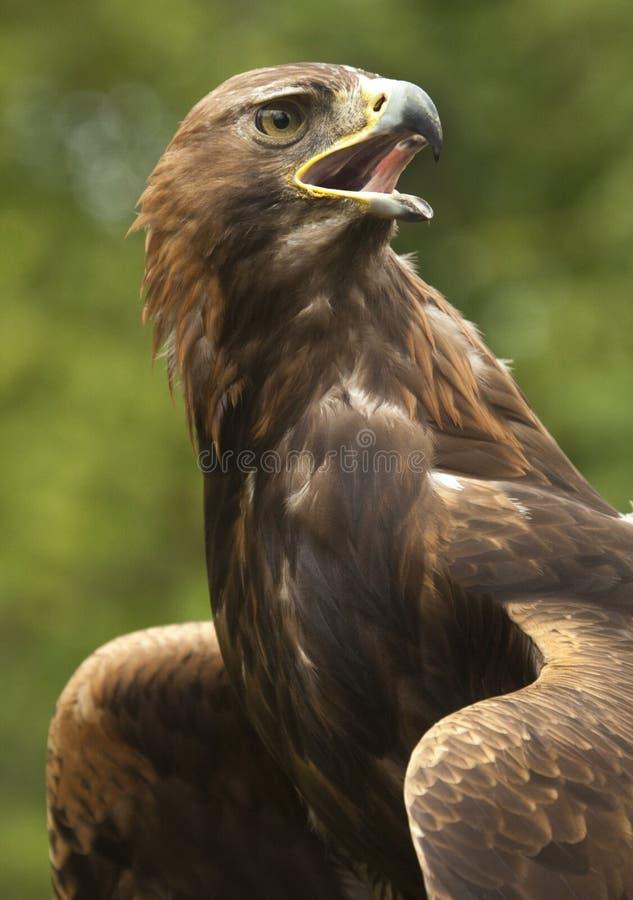 Golden Eagle (Aquila chrysaetos) - Scotland stock images