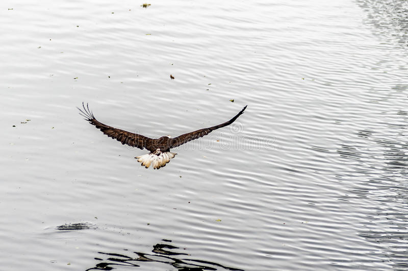 Golden Eagle back with wings wide open royalty free stock photos