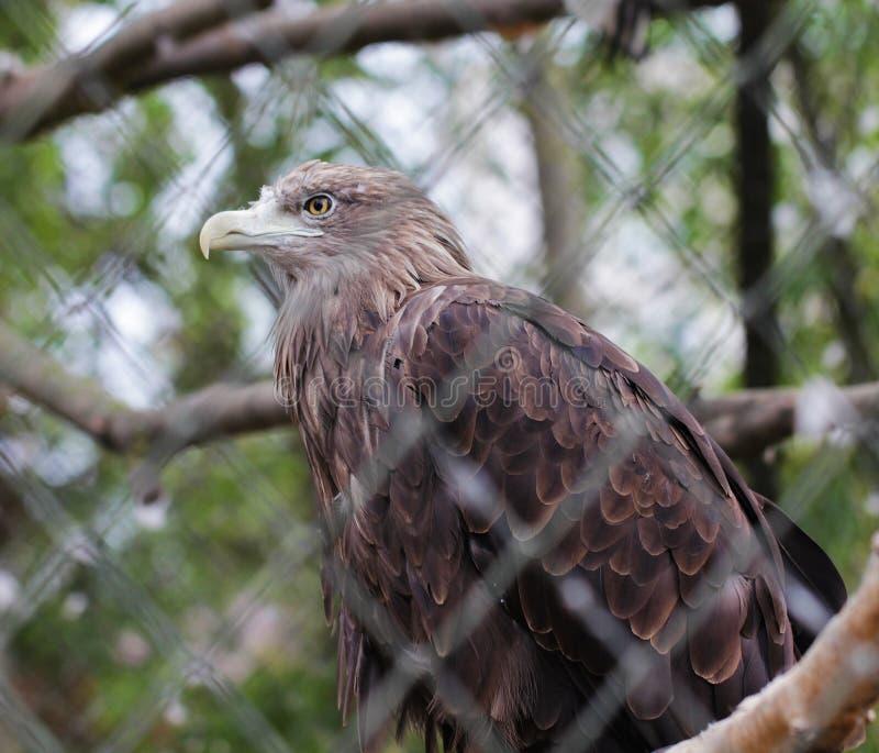 Golden eagle bird close up animal portrait stock photography
