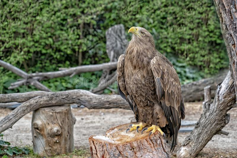 Golden eagle bird close up portrait royalty free stock photography